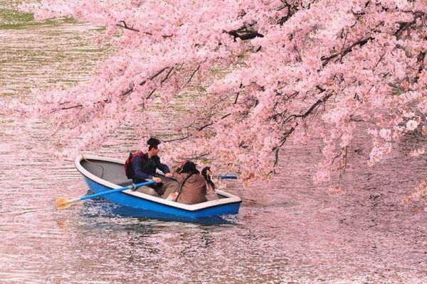 6 địa điểm bạn có thể thưởng thức Hanaikada: Những dòng sông màu hồng ở Nhật Bản